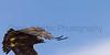 Golden Eagle in flight<br /> Las Animas County, Colorado
