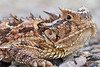 Texas Horned Lizard<br /> Briscoe County, Texas.