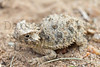 Texas Horned Lizard (hatchling)<br /> Bastrop County, Texas.