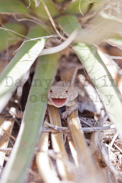 Short-horned Lizard (neonate under yucca)<br /> Pawnee National Grassland, Weld County, Colorado.