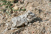 Neonate Short-horned Lizard, shedding skin.  Pawnee National Grassland, Weld County, Colorado.