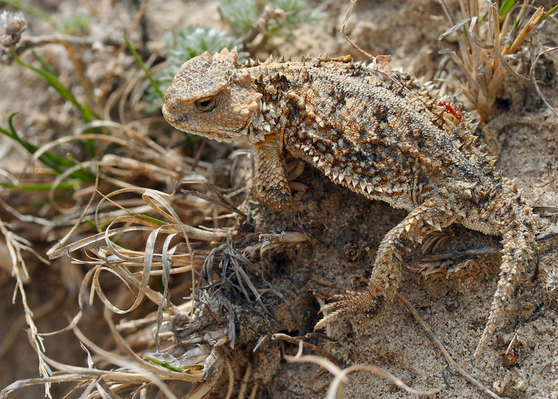 Short-horned Lizard (with partially healed injuries)<br /> Pawnee National Grassland, Weld County, Colorado.