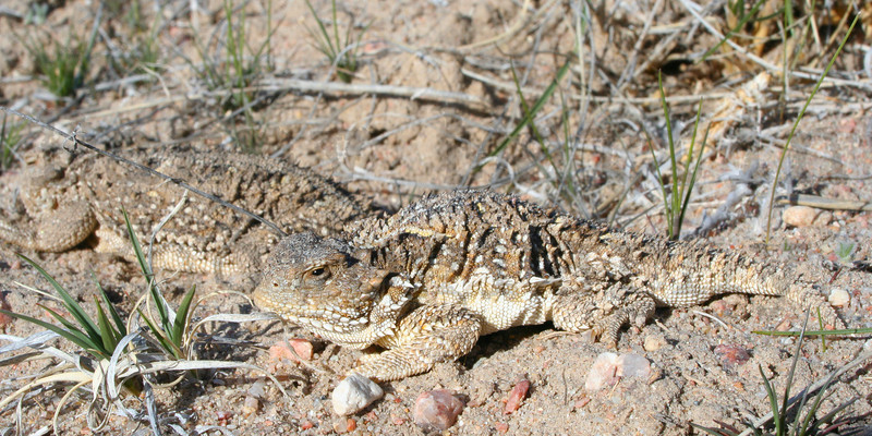Short-horned Lizard (adult male and female during mating season)<br /> Pawnee National Grassland, Weld County, Colorado.