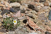 Round-tailed Horned Lizard (male)<br /> New Mexico