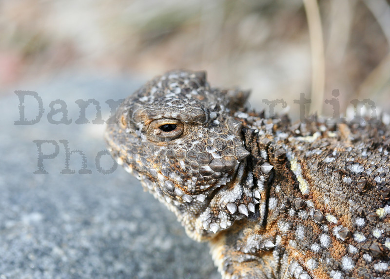 Short-horned Lizard<br /> Pawnee National Grassland, Weld County, Colorado.