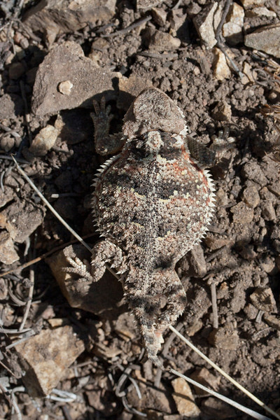 Short-horned Lizard (yearling)<br /> Great Sand Dunes National Park, Saguache County, Colorado.