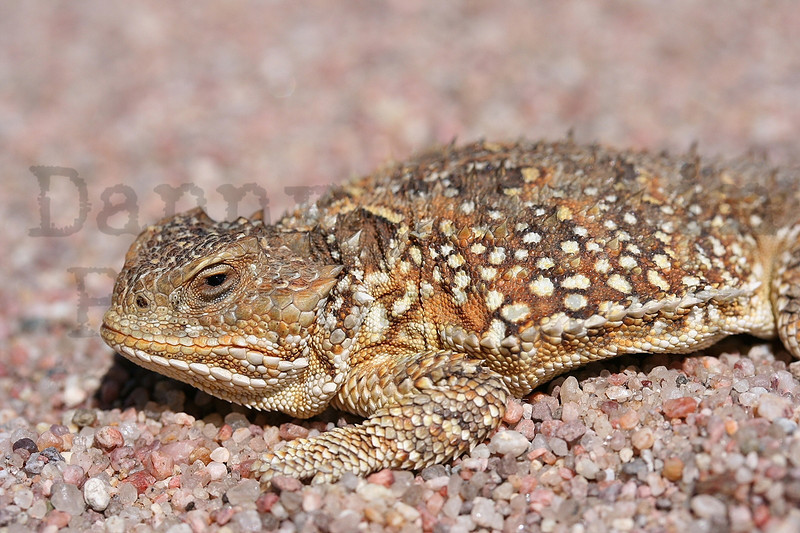 Short-horned Lizard (adult male)<br /> Pawnee National Grassland, Weld County, Colorado.