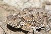 Greater Short-horned Lizard<br /> Weld County, Colorado
