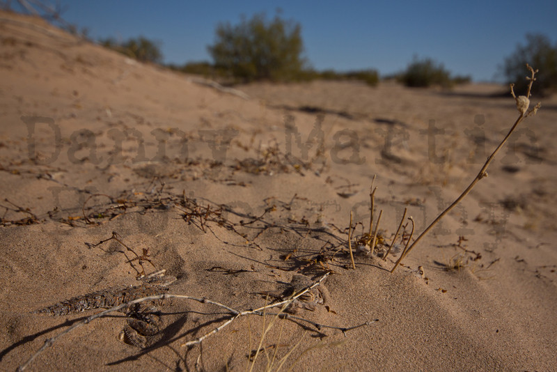 Flat-tailed Horned Lizard partially buried in sand.  Imperial County, California.