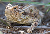 Texas Horned Lizard<br /> Cottle County, Texas.
