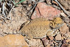 Round-tailed Horned Lizard<br /> Las Animas County, Colorado.