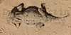 Flat-tailed Horned Lizard<br /> Imperial County, California.