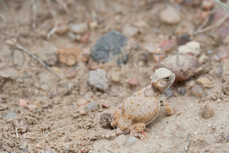 Round-tailed Horned Lizard (hatchling)<br /> Otero County, Colorado.