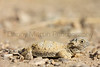 Round-tailed Horned Lizard (juvenile)<br /> Otero County, Colorado