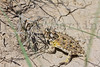 Texas Horned Lizard<br /> Rita Blanca National Grassland, Dallam County, Texas.
