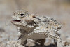 Desert Horned Lizard<br /> San Diego County, California
