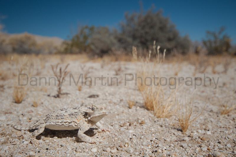Desert Horned Lizard<br /> San Diego County, California