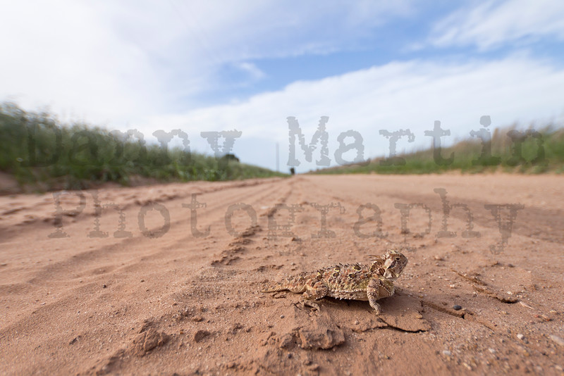 Texas Horned Lizard (adult male) on county road<br /> Briscoe County, Texas.