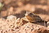 Texas Horned Lizard (adult male)<br /> Briscoe County, Texas.