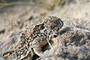 Short-horned Lizard (adult with radio transmitter)<br /> Weld County, Colorado.
