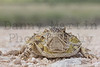 Texas Horned Lizard (adult male) on county road<br /> Bailey County, Texas.