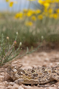 Texas Horned Lizard Randall County, Texas.