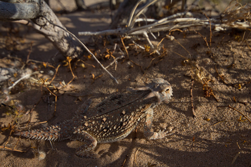 Flat-tailed Horned Lizard.<br /> Near El Centro in Imperial County, California.