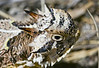 Texas Horned Lizard<br /> Pueblo County, Colorado.
