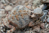 Round-tailed Horned Lizard<br /> Brewster County, Texas.