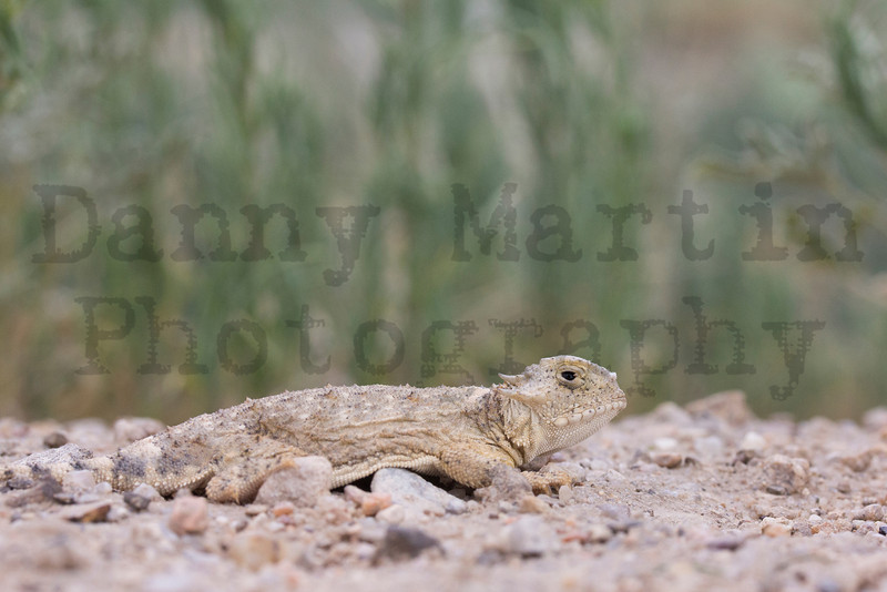 Round-tailed Horned Lizard (male).<br /> Otero County, Colorado.