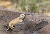 Round-tailed Horned Lizard, warming up on a rock on a cool day<br /> Otero County, Colorado.
