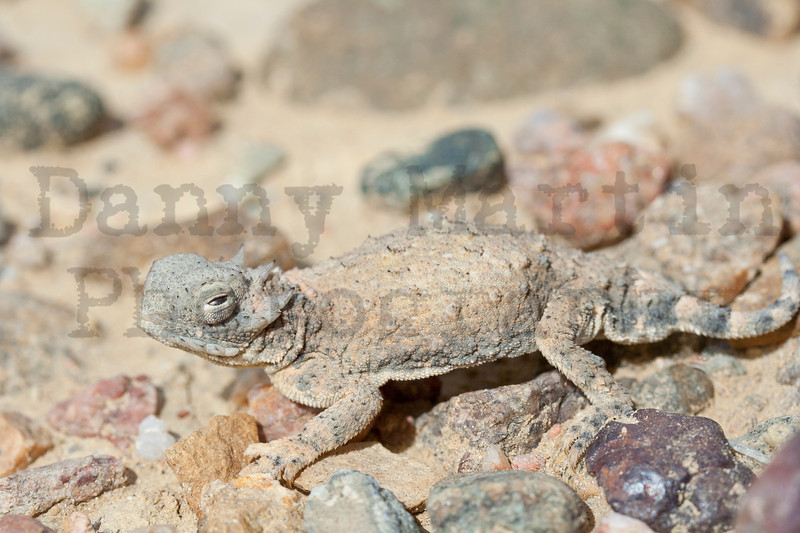 Round-tailed Horned Lizard (orbital sinus filled with blood, prepared to squirt)<br /> Otero County, Colorado.