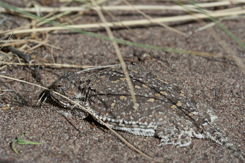 Short-horned Lizard (from dwarfed population in San Luis Valley)<br /> Alamosa County, Colorado.
