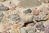 Round-tailed Horned Lizard<br /> Otero County, Colorado.