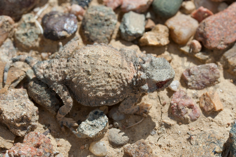 Round-tailed Horned Lizard (after squirting blood)<br /> Otero County, Colorado.<br /> <br /> *First documented occurrence of this species squirting blood from the orbital sinus, see Wojnowski, Martin, and Rosen. 2010. Herpetological Review 41:228.