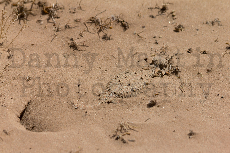 Flat-tailed Horned Lizard (adult female in front of nesting burrow)<br /> Imperial County, California.