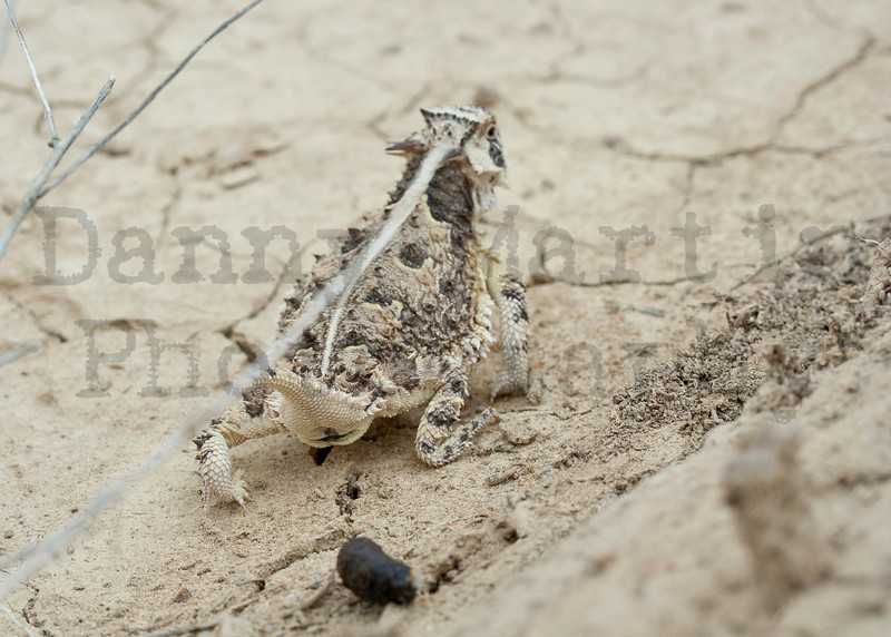Texas Horned Lizard (adult male after depositing scat)<br /> Otero County, Colorado.