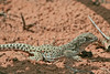 Long-nosed Leopard Lizard (male)<br /> Arches National Park, Utah