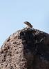 Common Side-blotched Lizard<br /> Pima County, Arizona
