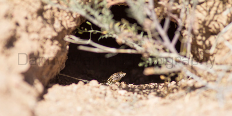 Common Side-blotched Lizard<br /> New Mexico
