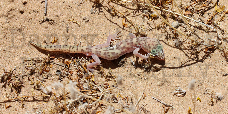 Western Banded Gecko<br /> Imperial County, California