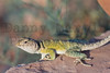 Eastern Collared Lizard (subadult female)<br /> Briscoe County, Texas.