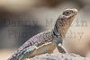 Eastern Collared Lizard (adult female)<br /> Comanche County, Oklahoma.