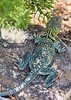 Eastern Collared Lizard (adult male)<br /> Cimarron County, Oklahoma.