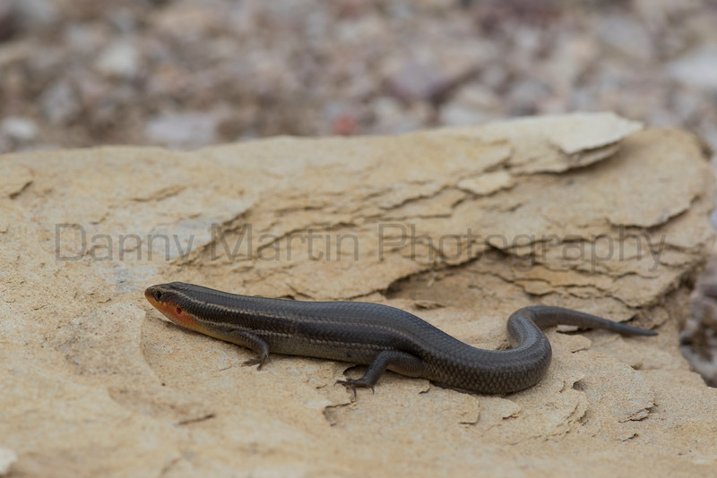 Four-lined Skink (male)<br /> Brewster County, Texas<br /> *placed on rock for photos
