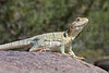 Collared Lizard (gravid female)<br /> Las Animas County, Colorado<br /> May 2013<br /> Danny Martin