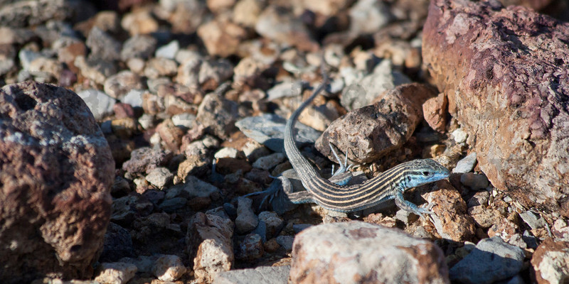 Little Striped Whiptail<br /> Brewster County, Texas