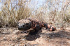 Gila Monster<br /> Pima County, Arizona