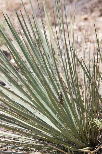 Plateau Fence Lizard (hatchling) - Hanging out on yucca.<br /> Comanche National Grassland, Otero County, Colorado.