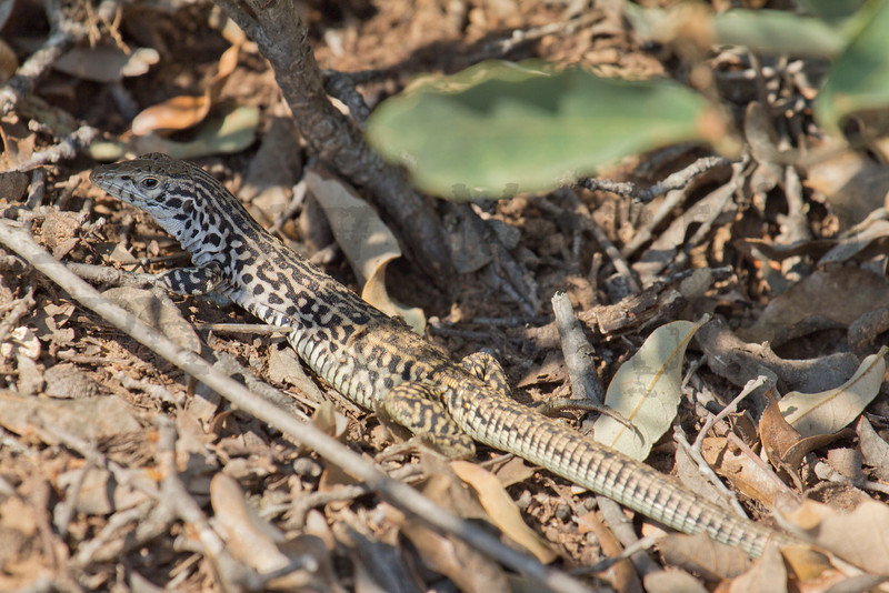 Common Checkered Whiptail<br /> Caprock Canyons State Park, Briscoe County, Texas